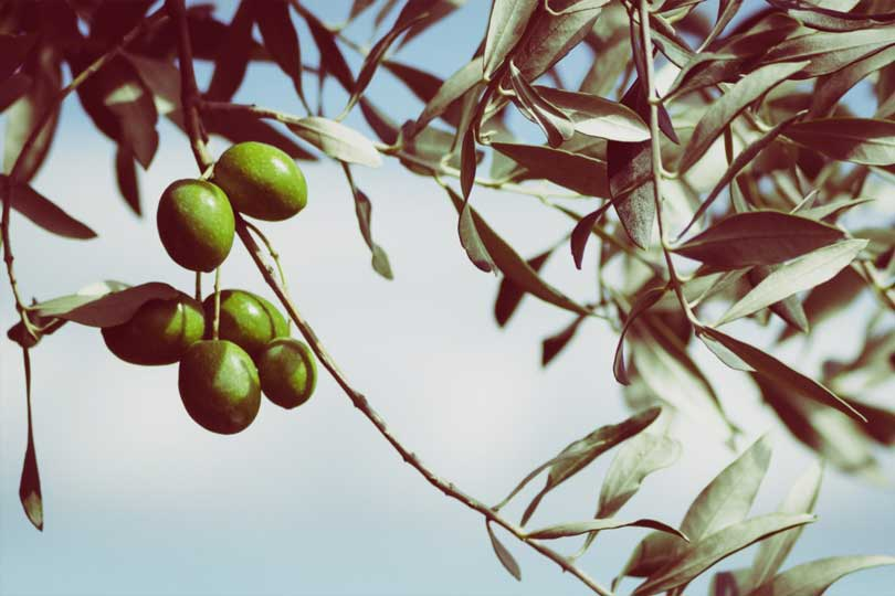 Gourmet Olive leaves products